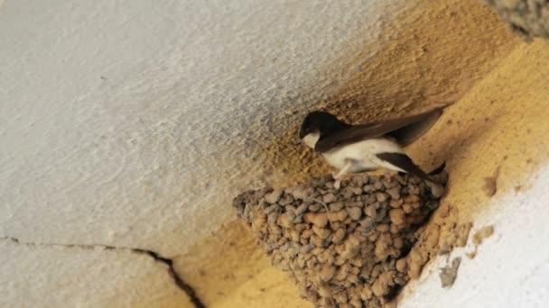 dvě vlaštovka ptáci v hnízdě