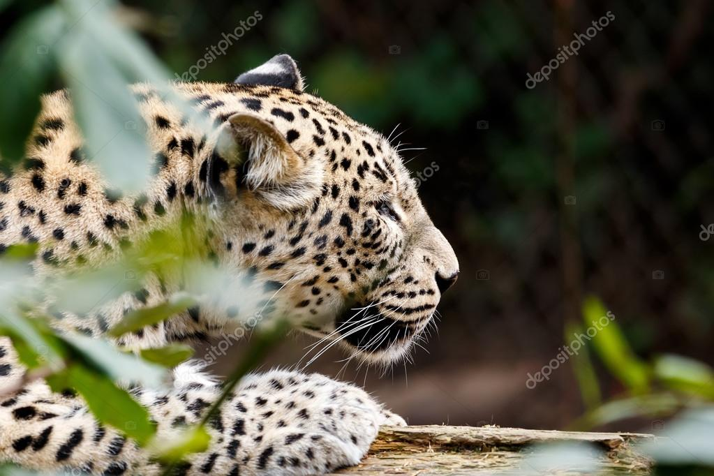 Snow Leopard Irbis (Panthera uncia) looking for prey