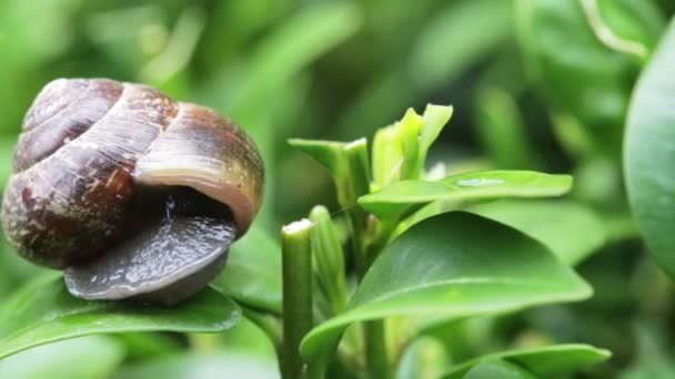 Macro of small garden snail on green leaves at 4x speed