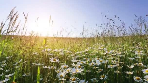 százszorszép virág meadow mező kék ég és a naplementét szél ellen
