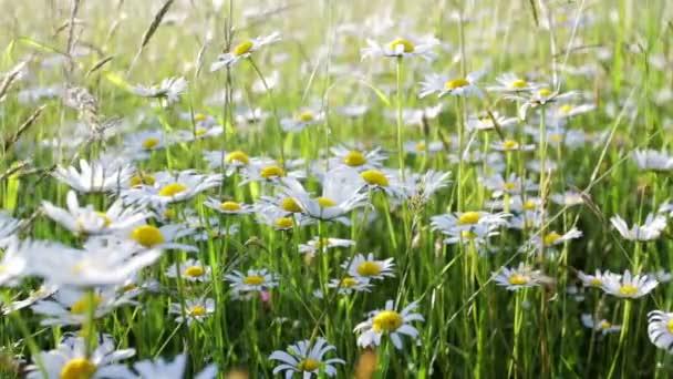 sedmikráska květ louka pole mělké zaměření s větrem