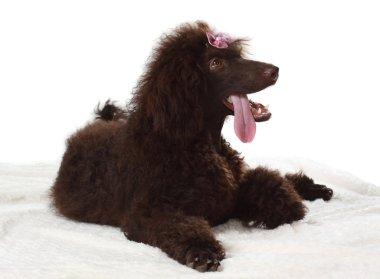 brown royal poodle