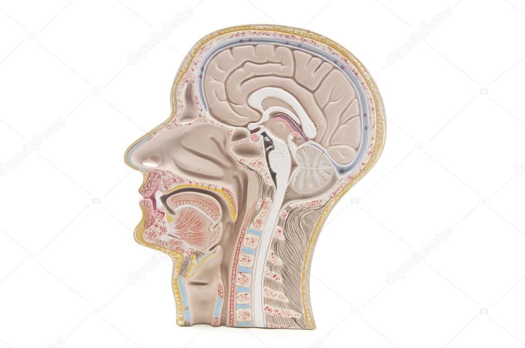 Menschlicher Kopf einen Nacken — Stockfoto © Meawpong2008 #24114621
