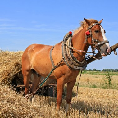 Transportation of hay by a cart.