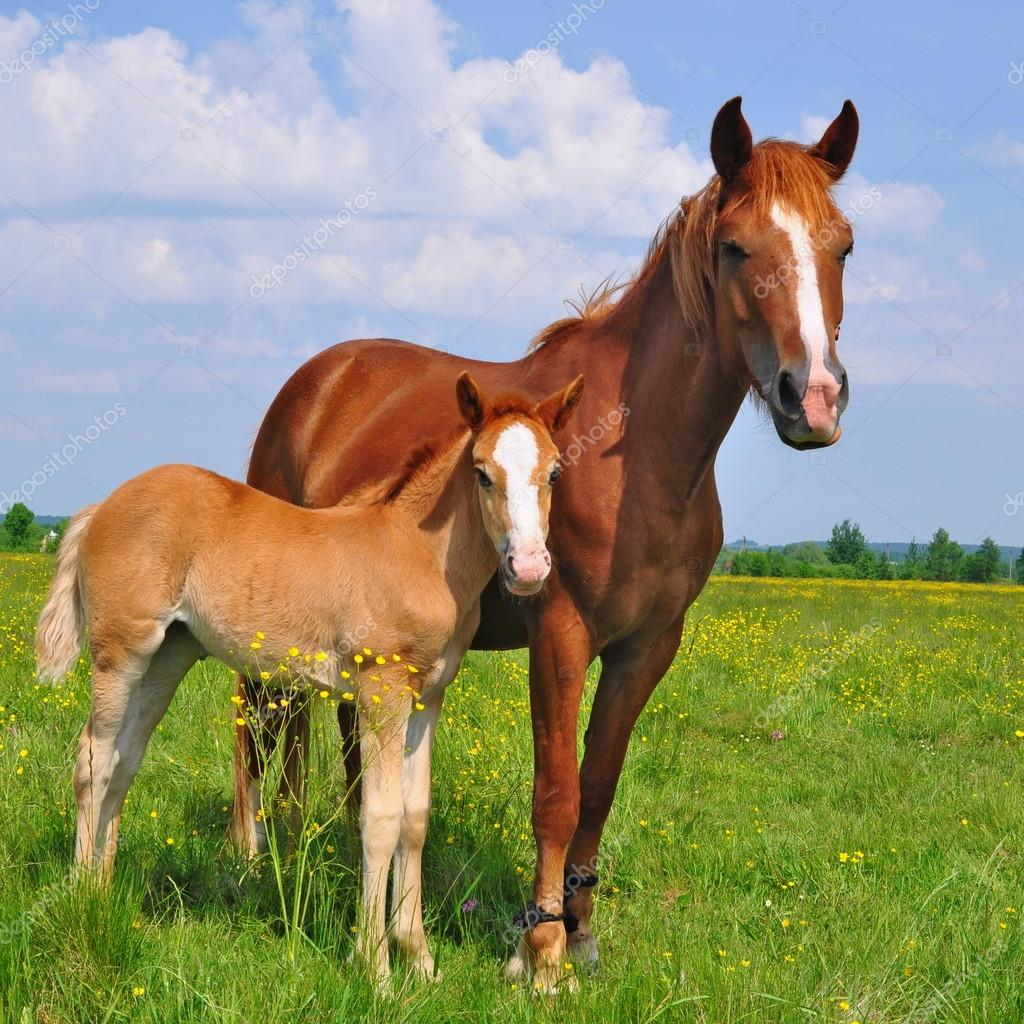 Foal with a mare on a summer pasture