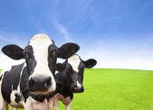 kráva na zelené louky s pozadím mrak