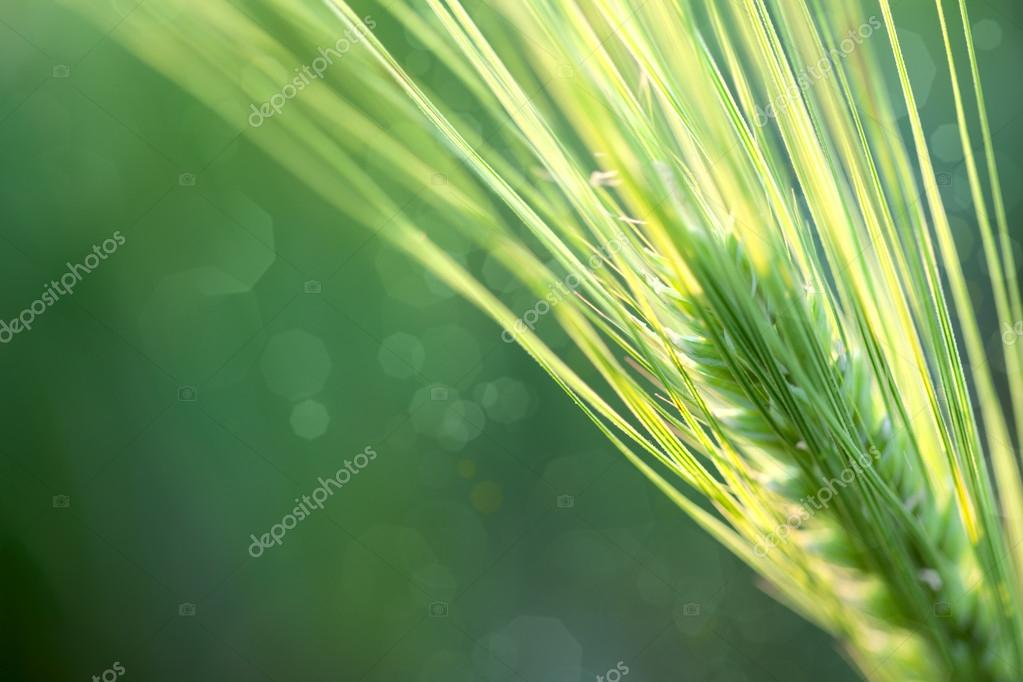 Wheat Defocused Background whith copy space