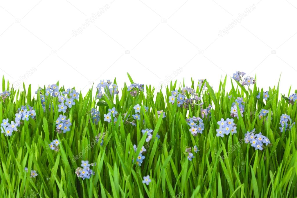blue flowers into green grass with water drops - isolated