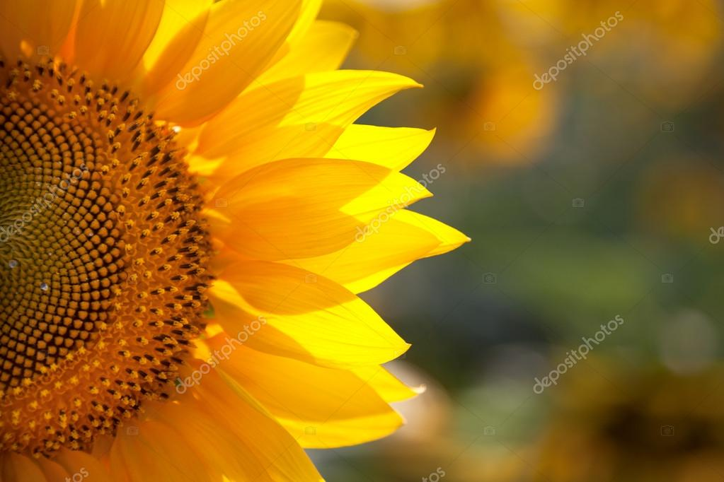 Macro SunFlower Background with real beautiful bokeh
