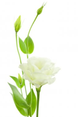 Delicate White Flowers Background with Buds - Eustoma
