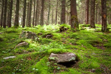 Old fairy forest with moss and stones on foreground