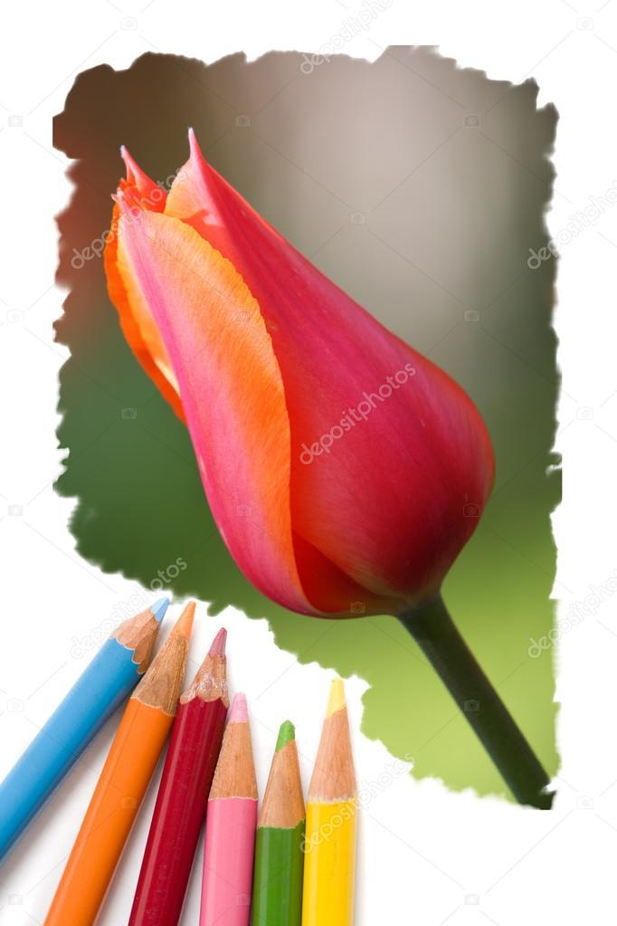 Immagini Tulipano Disegno Colorato Colore Matita Disegno Tulipano