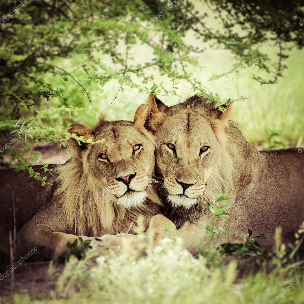 Liebende Paar Löwe Und Löwin Stockfoto Piccaya 26019969