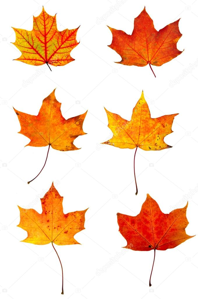 Autumn red maple leaves collection