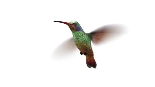 rotující kolibříkovi, bezešvé, opakování 3d animace, alfa matný