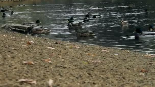 kachna v podzimní rybník