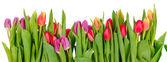 řádek tulipány