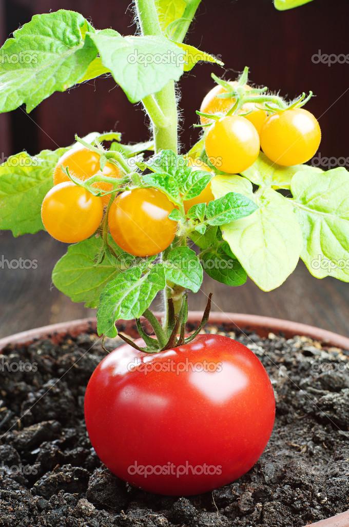 röd tomat och små gula tomater — Stockfotografi © Sasajo  34038111 41b8c1ef665f8