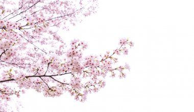 Isolated sakura tree on white background. stock vector