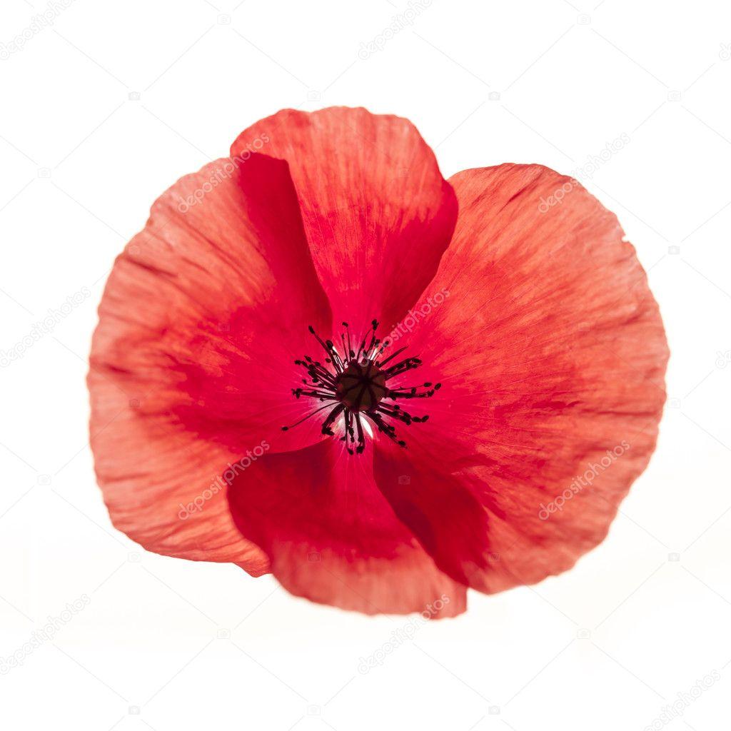 фото квітка мак