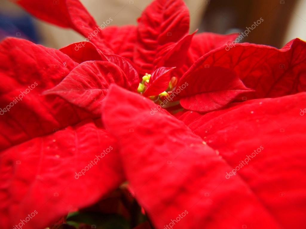 Weihnachten Sterne, Pflanze — Stockfoto © arvebettum #18124091