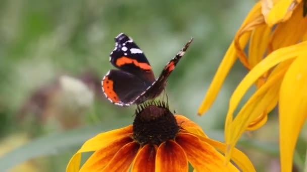 Papilio machaon pillangó a virág cinea
