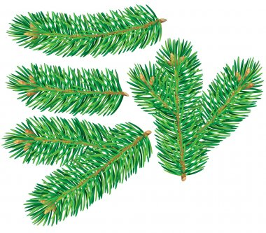 Branch of spruce