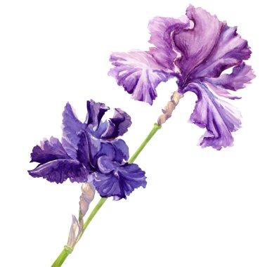 Beautiful flower iris