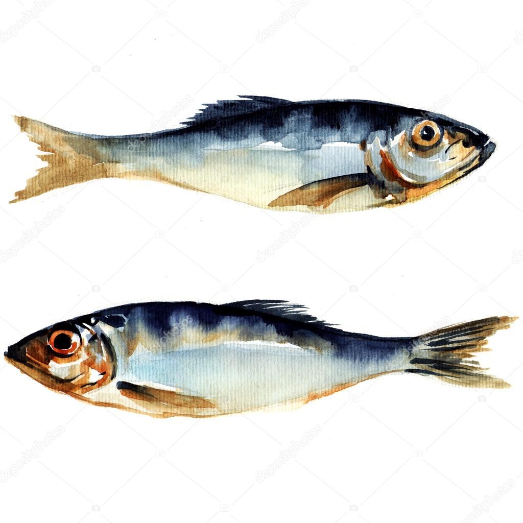 Fish Watercolor Herring Fish Watercolor Painting Stock