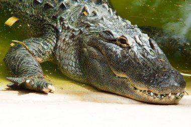alligator head closeup