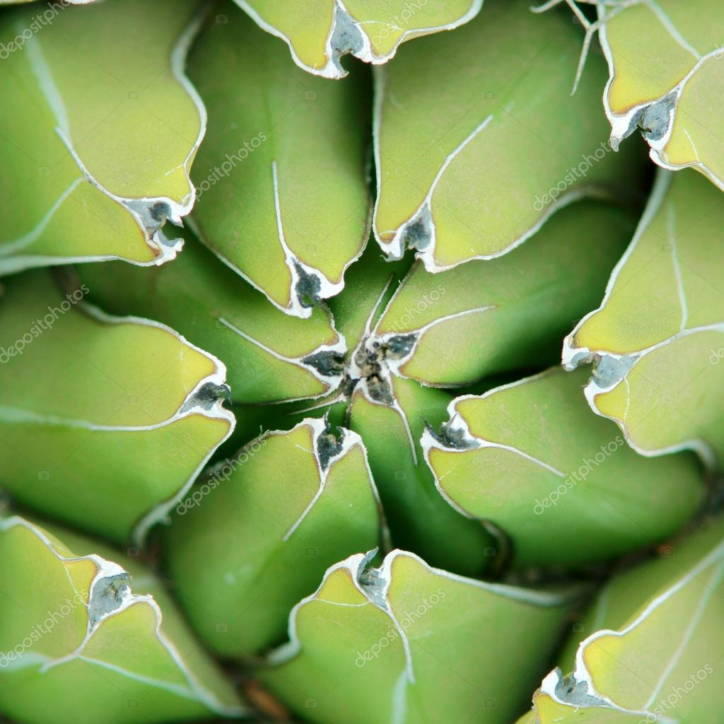 agave close-up background