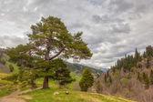 Mostra ai piedi delle montagne del Caucaso sopra pino solitario sotto h