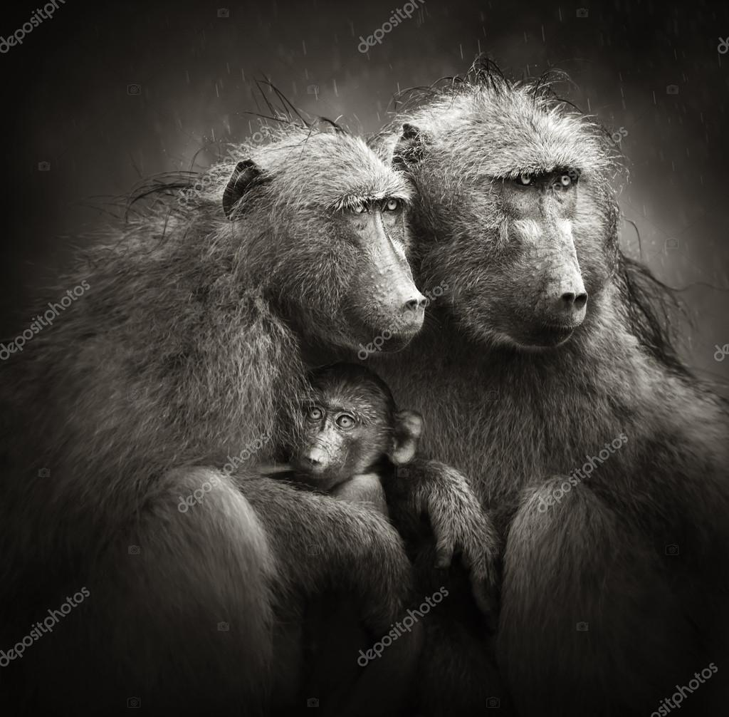 Chacma baboons with baby in rain