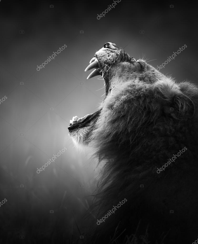 Lion displays dangerous teeth - Kruger National Park - South Africa stock vector