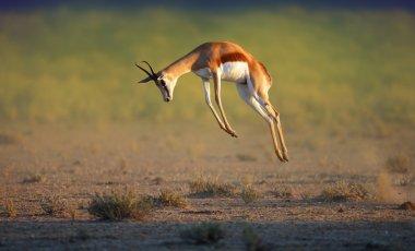Running Springbok jumping high