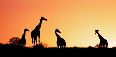 Giraffes silhouetted against sunrise