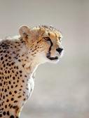 gepard portrét