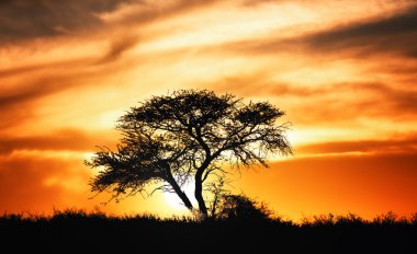 Sunset against acacia tree on african plains