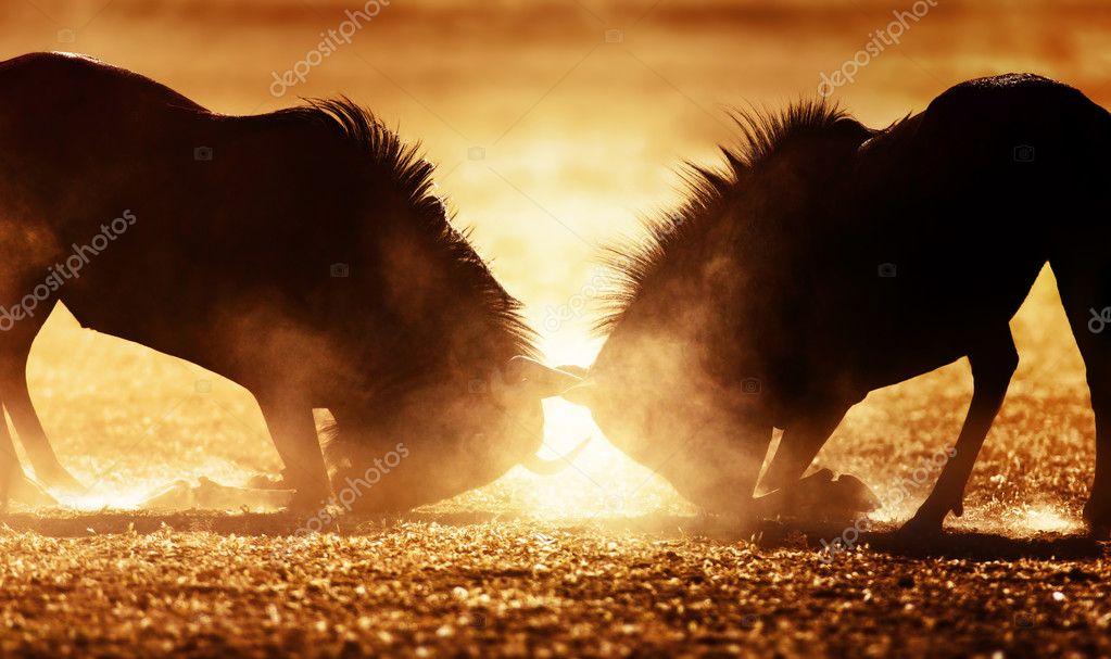 Blue wildebeest dual in dust