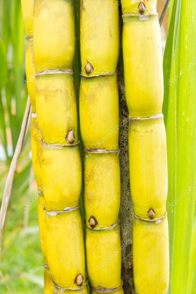 bundle of cane