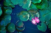 Fotografie water lily lotus flower