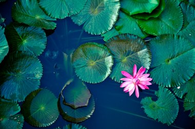 Water lily lotus flower and leaves stock vector