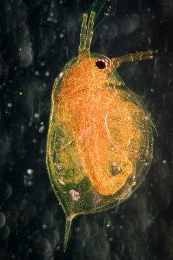 animal water flea