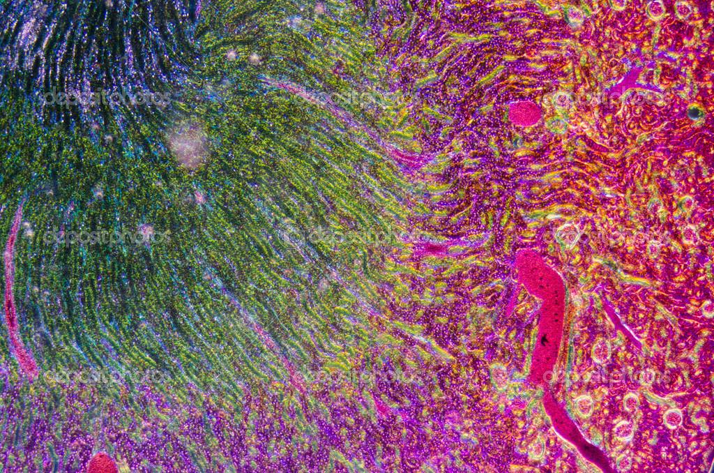 Microscopic Section Of Human Kidney Tissue Stock Photo Panxunbin