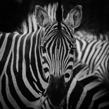 zebra pattern portrait