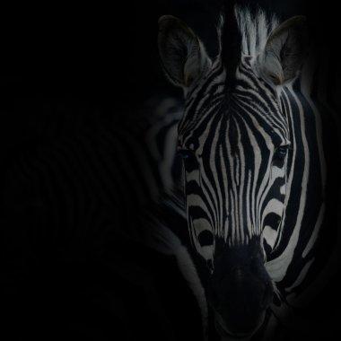 zebre portrait