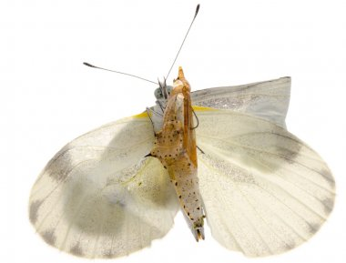 insect small white butterfly emergence