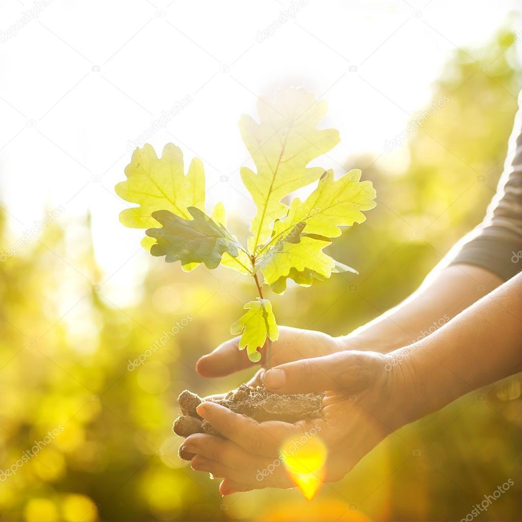 Oak sapling in hands.