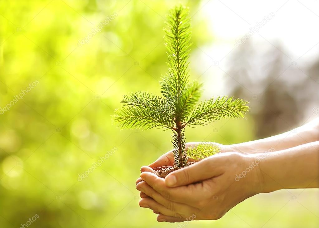 Spruce sapling in hands. The leaves of rays of sunlight.