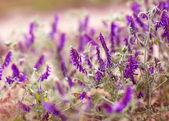 pozadí květy fialové květy
